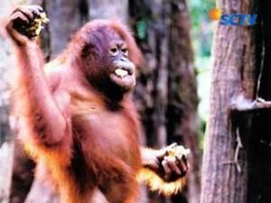 090811ctekno-orangutan